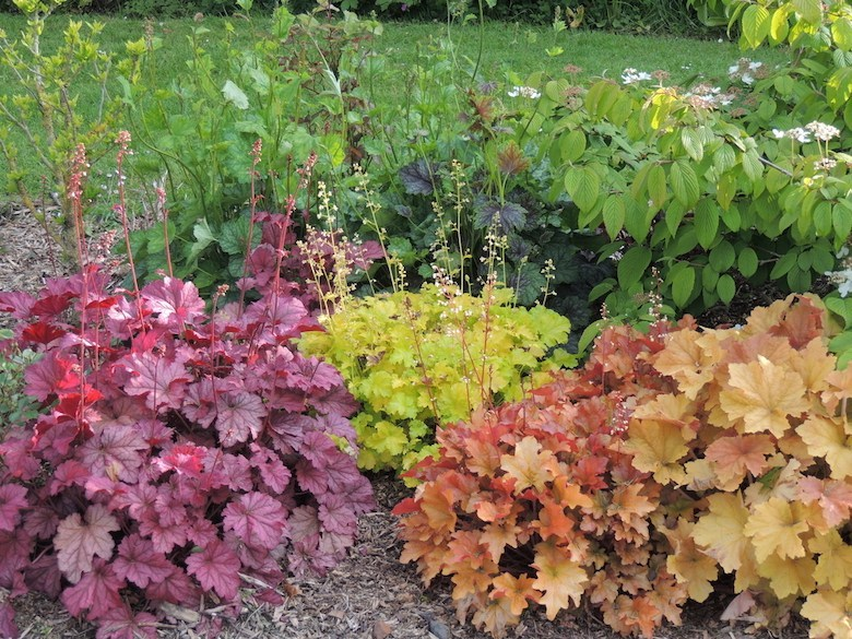 collection de plantes heuchera aux couleurs vives