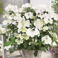 Hortensia 'Runaway Bride' de Thompson & Morgan