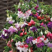 Fuchsia 'Giant Flowered Collection' de Thompson & Morgan - disponible à l'achat maintenant