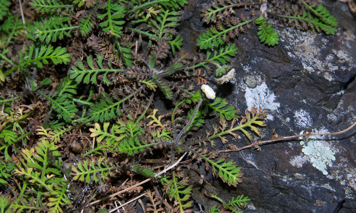 Leptinella minor