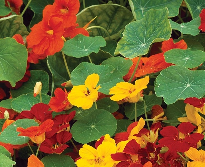 M. Small Nasturtium Whirlybird Mixed de Thompson & Morgan