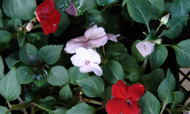 Impatiens rouges et roses