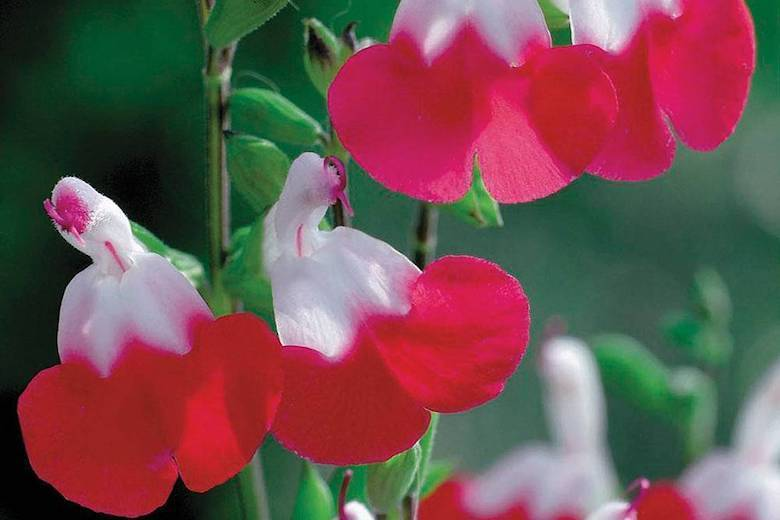 Collection Salvia 'Hot Lips' de Thompson & Morgan