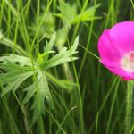Callirhoe Involucrata Care: Cultivez Purple Poppy Mallow
