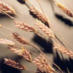 Eragrostis spectabilis: Growing Purple Love Grass
