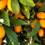 Kumquat Tree Care: Comment faire pousser des kumquats