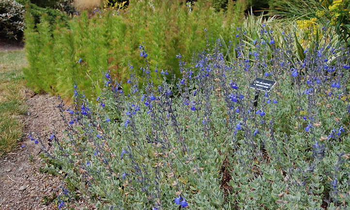 Patch Salvia chamaedryoides
