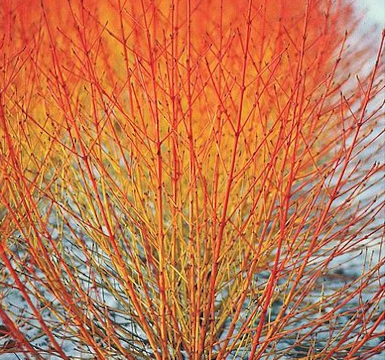 Cornus sanguinea 'Winter Flame' de T&M