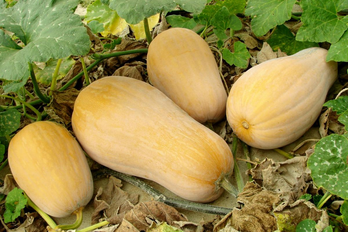 Courge D'hiver