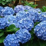 Quand tailler différents types d'hortensias